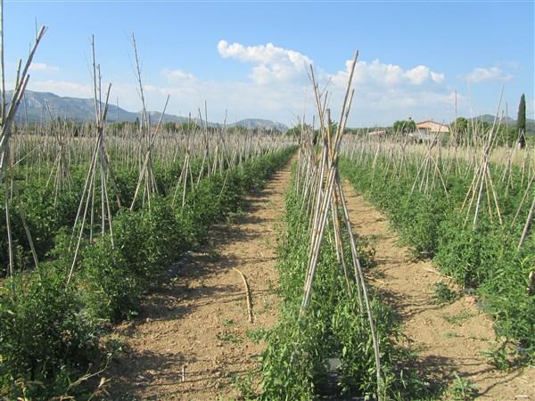 Tomates Plein champ