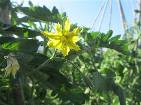 Fleur de tomates