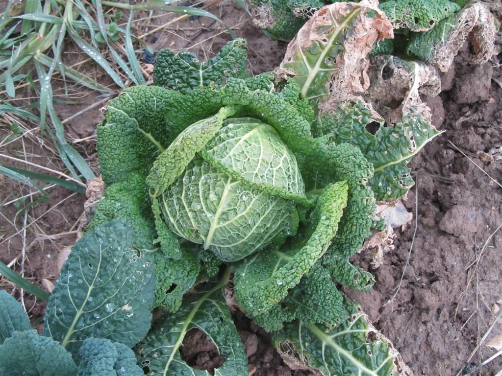 Plant de chou frisé (1)